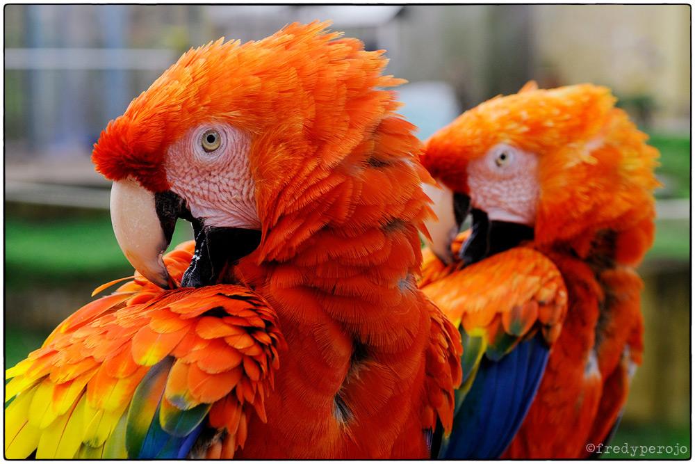 2014_scarlet_macaws_fp_1000